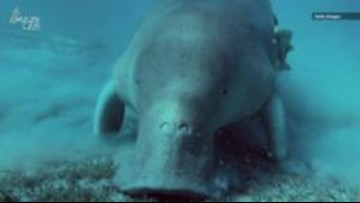 Rare Madagascar Dugong Is In Big Trouble