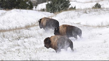 Watch bison introduced to land they haven't touched in 150 years