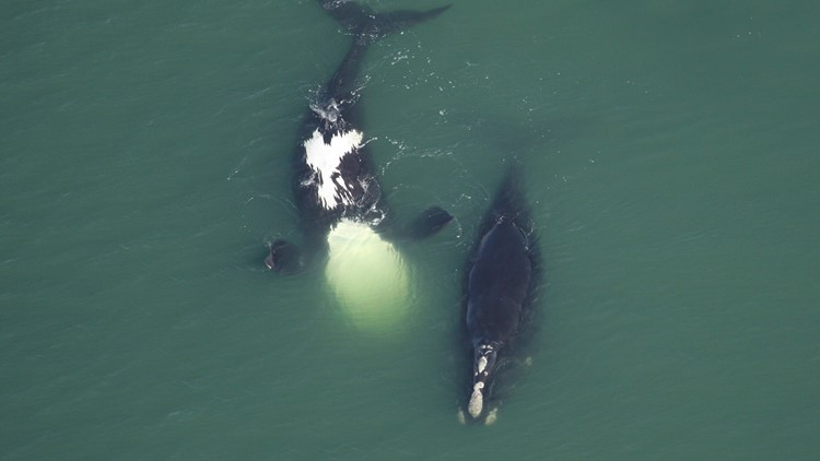 North Atlantic right whales getting tinier