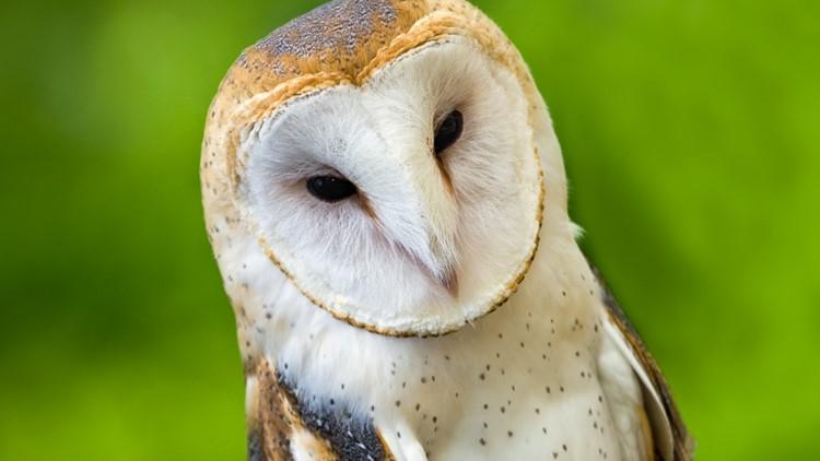 Owl Photo Andre Szekely