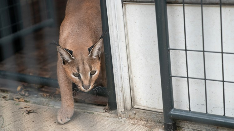 Large African cat owner ordered to find them new home after 2 escaped