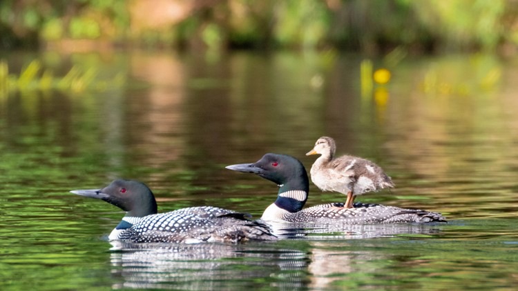 A duckling gets a ride with its loon adoptive parents