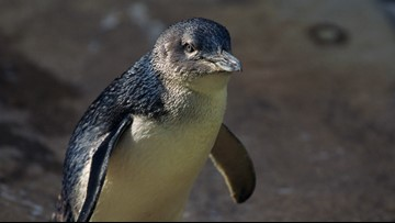 Sven Explains: Town moves to save the penguins
