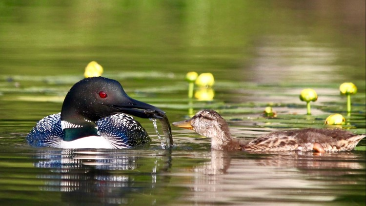 An adult loon feeds its adopted duckling a fish