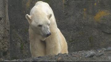 World's oldest male polar bear living quietly in Washington
