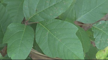 VERIFY | Which home remedy is best to clear up poison ivy?