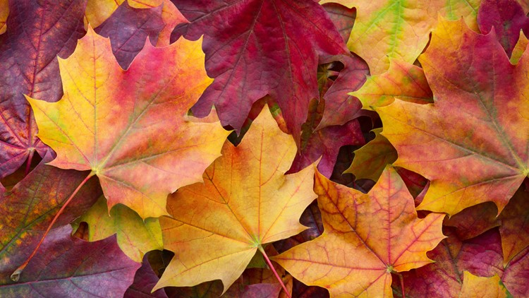 Big panoramic photo of multicolor autumn leaves background. Amazing multicolor autumn background fall leaves
