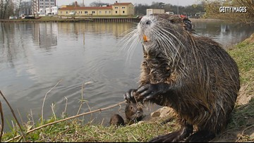 Giant river rats are invading California