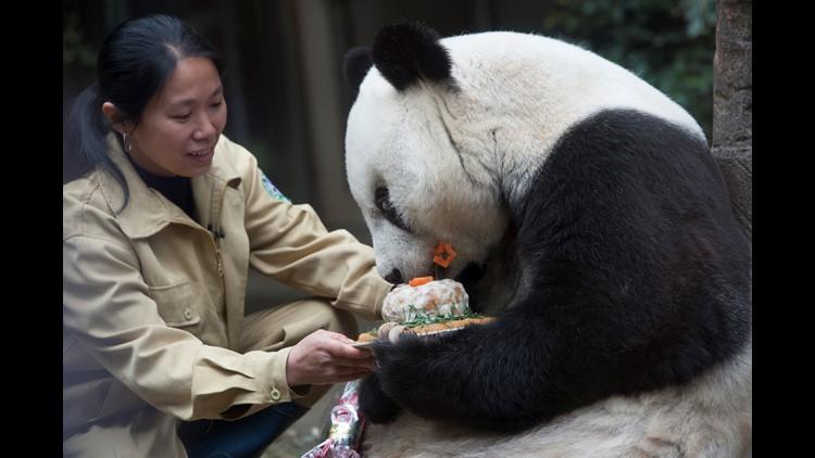 A feeder feeds birthday cake for Basi during its 35th birthday at Fuzhou Panda World on November 28, 2015 in Fuzhou, Fujian Province of China.