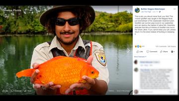 That's a big goldfish! 14-inch goldfish caught near Buffalo