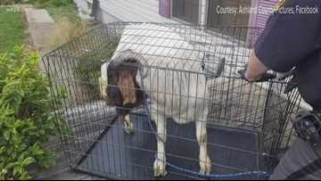 Ashland County resident finds goat asleep in her bathroom