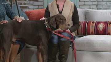 Adopt A Pet: Nicholas, Doberman Underground Rescue