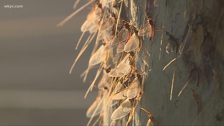 Mayflies hatching along Lake Erie