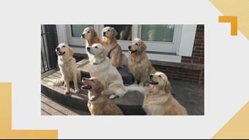 Doggone Weather: 7 golden retrievers