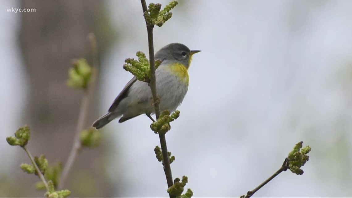 Time to test your birding skills with the Spring Warbler Challenge