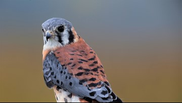 WATCH LIVE: American kestrel falcon nest in Ohio City yields 5 babies