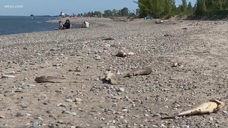 What's behind all of the dead fish along Lake Erie?
