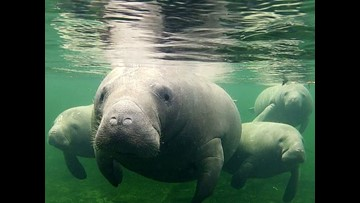 "Manatees in the south in need of a water warm up featured on ""What's New"" with Jay and Betsy"