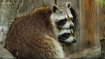 Dog owners: Veterinarians warn of distemper cases in raccoons