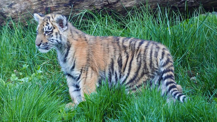 3 tiger cubs make their debut at Cleveland Metroparks Zoo