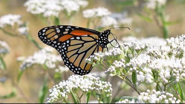 Monarch butterflies joined by other species in migratory trip through Northeast Ohio to Mexico