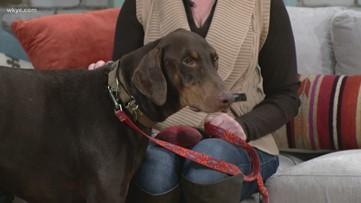 Adapt A Pet: Nicklaus, Doberman Underground Rescue