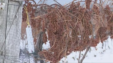 Workers set to harvest grapes for ice wine in Ashtabula County