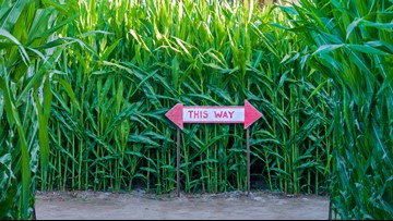 Image result for not getting lost in corn maze photos