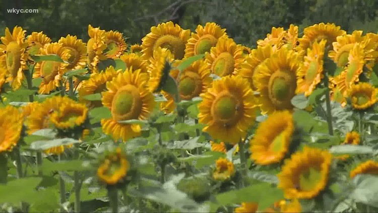 Cut-your-own sunflowers growing in popularity in Northeast Ohio