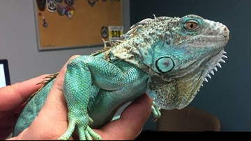 Iguana involved in attempted assault at Painesville Perkins will need surgery to repair fracture; VIDEO