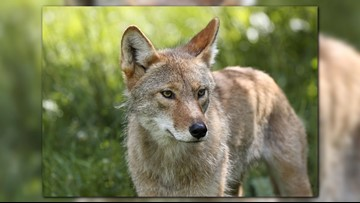 Animal rights group plans protest of Ohio's 'Coyote Open'