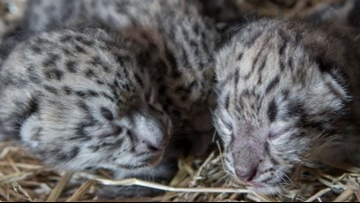 Cleveland Metroparks Zoo announces birth of snow leopard triplets