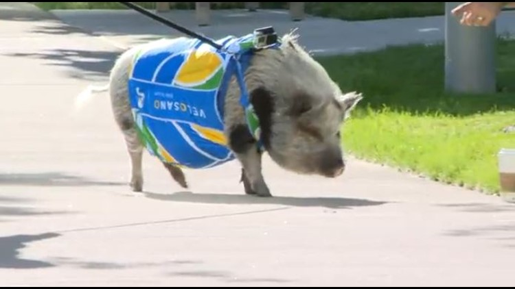 How a pig is helping raise money for VeloSano in Cleveland