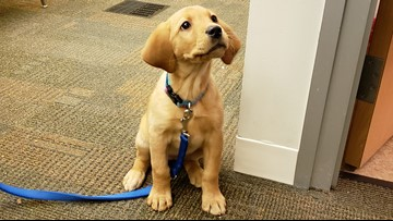 Roxy makes her Channel 3 debut: Meet our new Wags 4 Warriors puppy