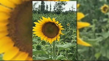 Portion of flowers at Maria's Field of Hope in Avon begin to bloom