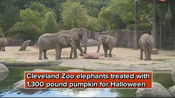 Cleveland Zoo elephants treated with 1,300 pound pumpkin for Halloween
