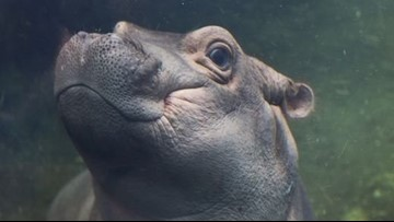 For hippo Fiona's 3rd birthday, Cincinnati Zoo seeks aid for Australia