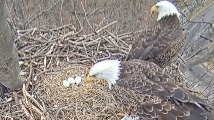Another eagle egg spotted in Avon Lake nest: 3 eggs now waiting to hatch