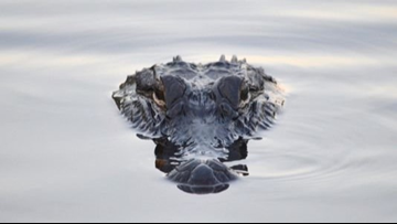 'I was in shock,' says Lake Michigan fisherman who found alligator