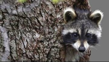 Raccoons drunk on crab apples cause rabid animal scare