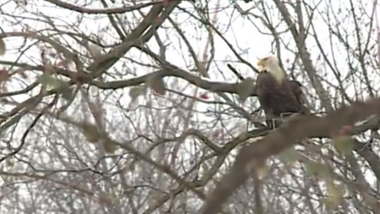Bald eagles are flocking to Cleveland's Industrial Valley
