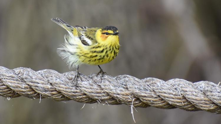 Test your birding skills with the Spring Warbler Challenge
