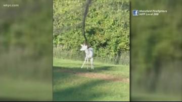 Albino deer rescued in Mansfield