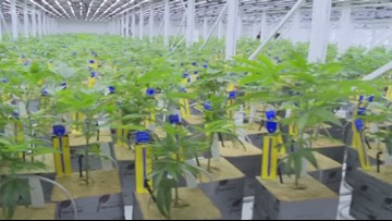 The first level 1 cannabis harvest in the state of Ohio is fully matured