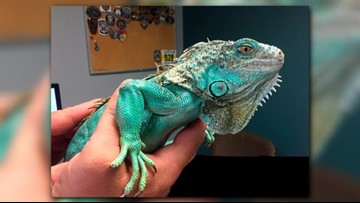 Iguana injured after being thrown inside Painesville restaurant may not need surgery
