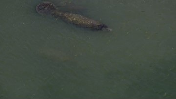 Manatees in Florida huddle together for warmth