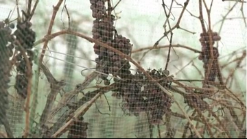 Mild winter takes its toll on Lake County's ice wine crop