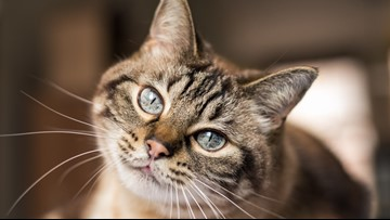 International Cat Show returns to I-X Center this weekend