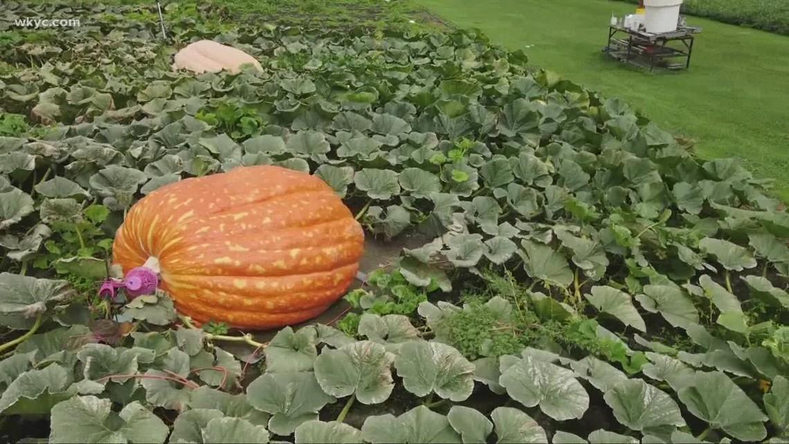 Enormous pumpkins in Geauga County: GO-HIO