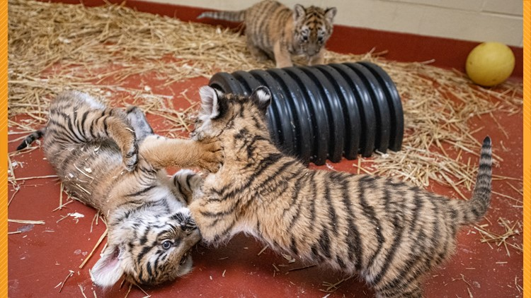 'The wait is almost over!' Cleveland Metroparks Zoo's tiger cubs to debut on Wednesday